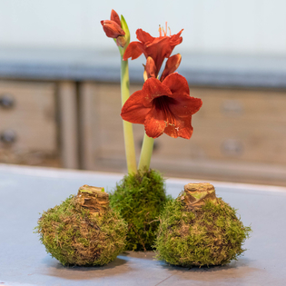 Moss-wrapped Amaryllis (red) – Red Lion