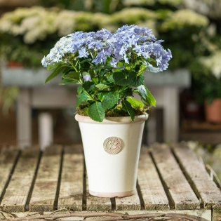 Blue Double Dutch Hydrangea in Ivory Glazed Pot