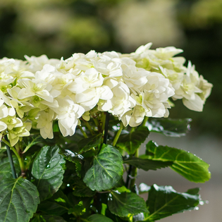 White Double Dutch Hydrangea
