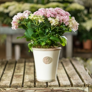 Pink Double Dutch Hydrangea in Ivory Glazed Pot