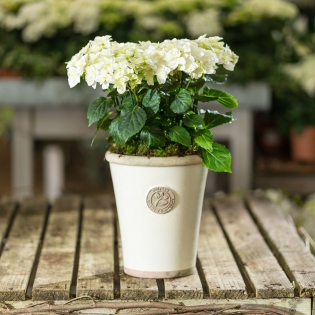 White Double Dutch Hydrangea in Ivory Glazed Pot