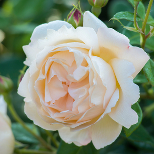 Rosa Wollerton Old Hall® (Ausblanket). Image courtesy of David Austin English Roses