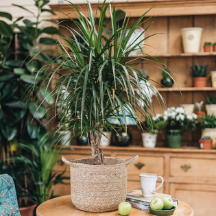 Dracaena marginata (pot not included)