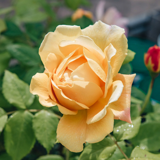 Rosa Golden Celebration® (Ausgold) AGM (climbing rose)