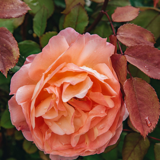 Rosa Lady Emma Hamilton (Ausbrother)