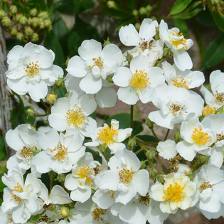 Rosa Rambling Rector (rambling rose) Image courtesy of David Austin English Roses