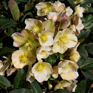 Helleborus x ericsmithii Gold Collection Marlon