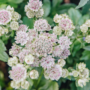 Astrantia Star of Billion