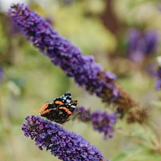Buddleia davidii Empire Blue with butterfly