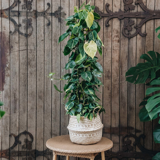 Philodendron scandens Brasil (container not included)