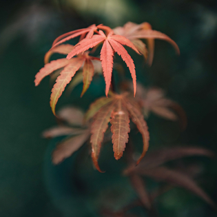Acer palmatum Skeeter's Broom, early autumn foliage detail