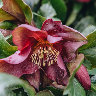Helleborus Ice n Roses Early Red