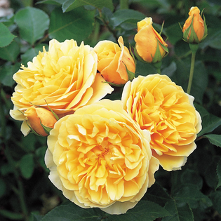 Rosa Graham Thomas (Ausmas) AGM (shrub rose) Image courtesy of David Austin English Roses