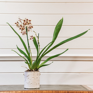 Cambria wilsonara Nippon (casche pot not included)