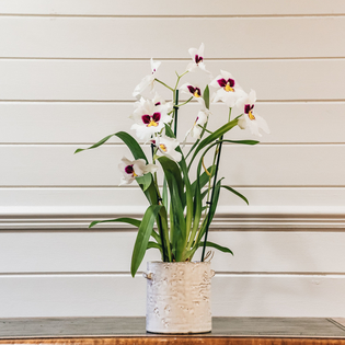 Orchid Miltonia Herr Alexander (cache pot not included)