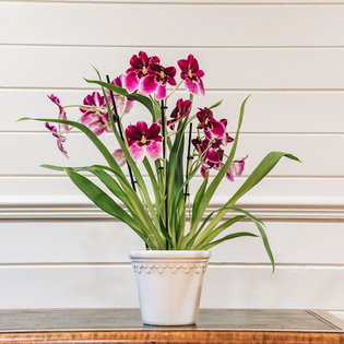 Miltoniopsis Princess Diana (cache pot not included)