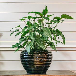Philodendron Xanadu (pot not included)