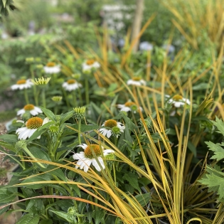 Libertia ixioides Goldfinger (container not included)
