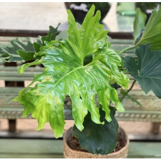 Philodendron Hope Selloum