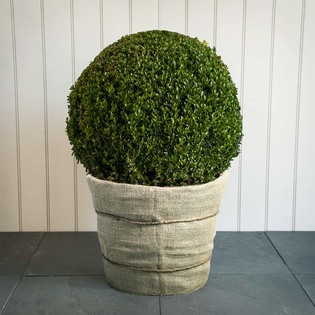 Buxus sempervirens Clipped Ball Small