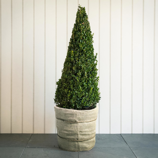 Buxus sempervirens Clipped Cone Small