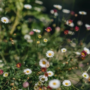Erigeron Karvinskianus,daisies,daisy,Santa Barbara Daisy,Latin American Fleabane,Stallone Fleabane,Erigeron,summer flowering,cottage gardens,perennial,rock garden,path edging,plants for containers,