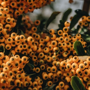 Pyracantha Golden Glow (trained)