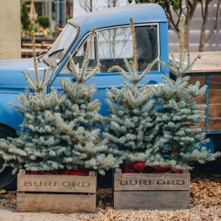 Blue Spruce Pot Grown Christmas Trees