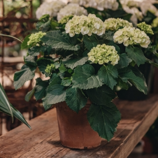 Hydrangea Crystal Palace (pot sold separately)