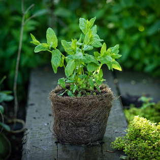 Garden Mint in a Hairy Pot