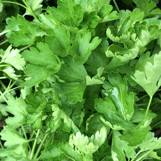 French Flat Leaf Parsley in a Hairy Pot