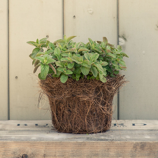 Greek Oregano in a Hairy Pot
