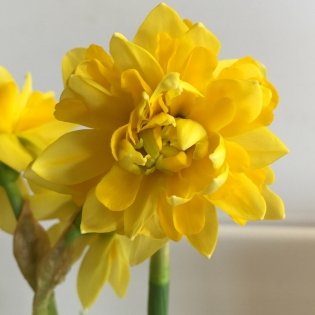 Narcissus Tete Deluxe Bulbs