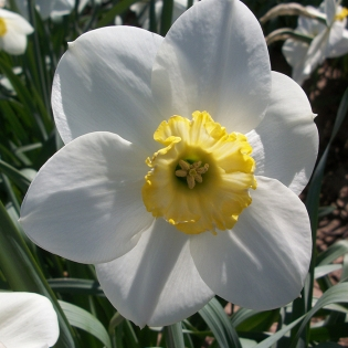 Narcissus Loth Lorien