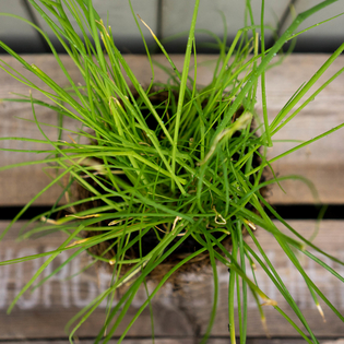 Chives in a Hairy Pot