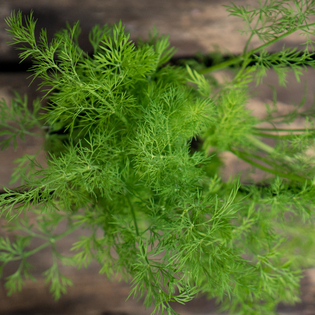 Common Dill in a Hairy Pot