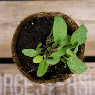 Common Green Sage in a Hairy Pot