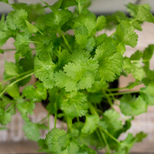 Coriander in a Hairy Pot