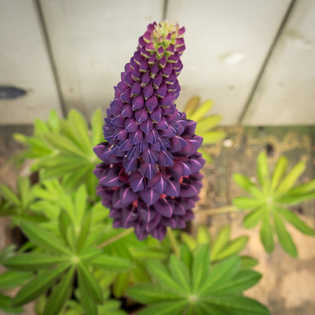 Lupinus West Country Masterpiece
