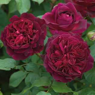 Rosa Munstead Wood® (Ausbernard). Image courtesy of David Austin Roses