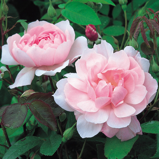 Rosa Mortimer Sackler® (Ausorts). Image courtesy of David Austin English Roses