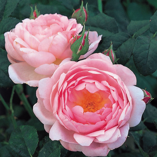 Rosa Scepter'd Isle® (Ausland). Image courtesy of David Austin English Roses