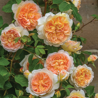 Rosa Bathsheba® (Auschimbley). Image courtesy of David Austin English Roses