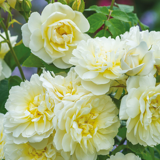 Rosa Imogen® (Austritch). Image courtesy of David Austin Roses
