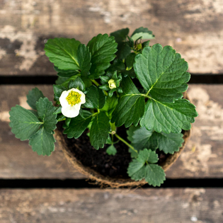 Wild Strawberry in a Hairy Pot