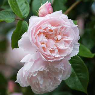 Rosa The Generous Gardener (Ausdrawn). Image courtesy of David Austin English Roses