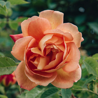 Rosa Lady of Shalott® AGM (Ausnyson)