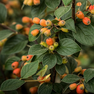 Cotoneaster Berried Treasure