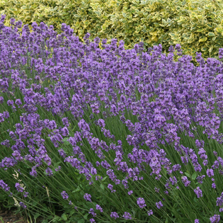 Lavander Munstead in a Hairy Pot