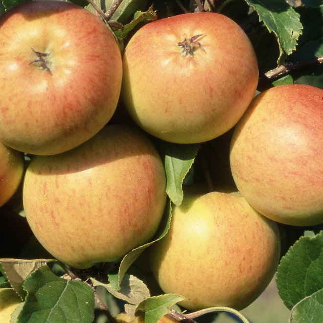 Malus domestica (Apple) Christmas Pippin AGM